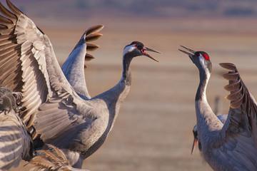 Common crane, latin: grus grus