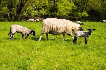 Schafmutter mit Schafbabys