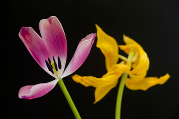 Pink And Yellow Tulips Black Background