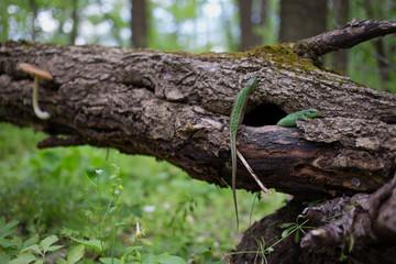 Green lizard in the wild.