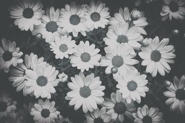 Beautiful monochrome faded daisy flower blossom background.