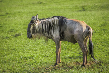 Wildbeest in the Maasai Mara national park (Kenya)