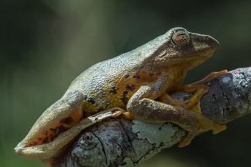 Tree Frog, Tree frog of Borneo, Tree frog on leaf