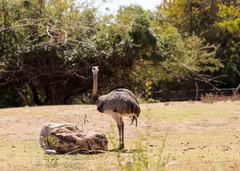 Greater Rhea Americana Nandu bird stands in a grassland eating shrubs.