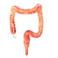 Human intestine on white background