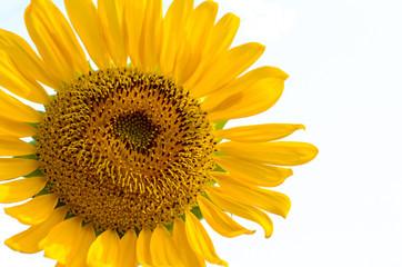 Pollen of Sunflower
