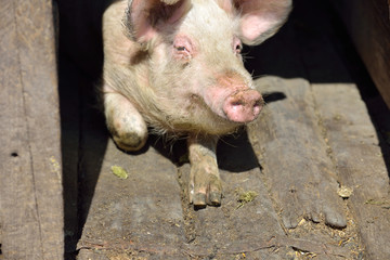 Picture of nose pig inside the piggery standing in the sun. Work