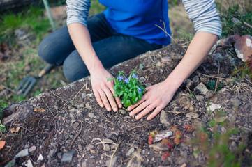 Young woman planting lobelia in garden