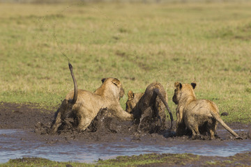 African lion cubs playing in a mud hole