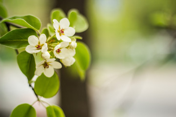 pear flowers on a branch