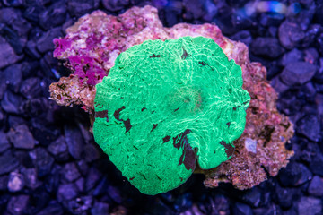 green watermalon Japan muchroom coral