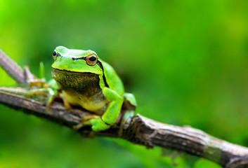 Green frog (Rana ridibunda)