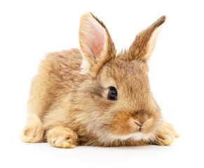 Brown rabbit on white.
