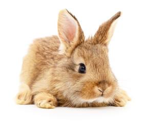Brown rabbit on white.
