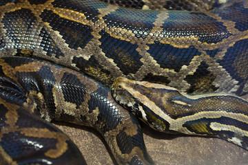 Burmese python (Python bivittatus).