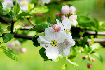 Spring Apple flowers blossom tree branch on bokeh green background
