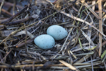 gull eggs are in the nest, the nest in the reeds.