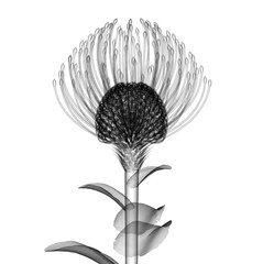 x-ray image of a flower isolated on white , the Nodding Pincushi