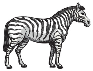 Zebra. Vector drawing