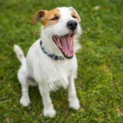 Jack Russell Parson Terrier playing on the grass lawn