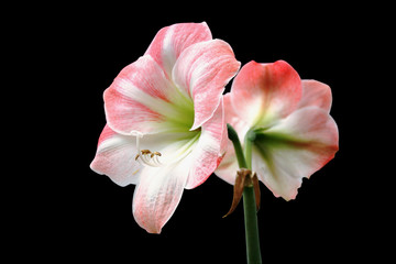 Hippeastrum Apple Blossom with clipping path