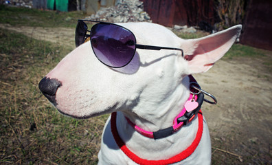 White English bullterrier in sunglasses
