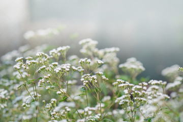 Tropic Ageratum's small white flowers blooming (Ageratum conyzoides)