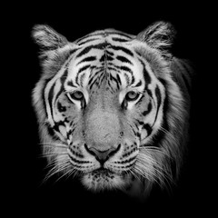 Fototapete - Black & White Beautiful tiger - isolated on black background