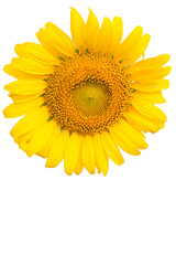 sunflower close-up on white background