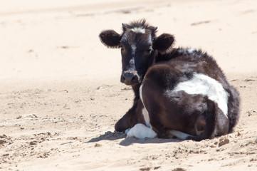 Cow in desert