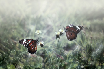 Two butterflies with spread wings on plant, Gorontalo, Indonesia