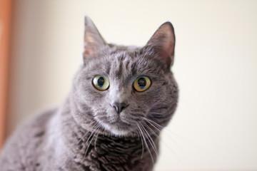 Gray cat portrait indoor
