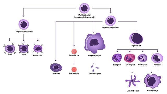 Hematopoiesis cell types scheme