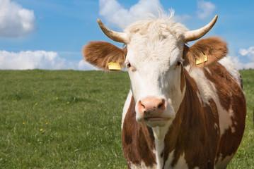 Kuh auf der Wiese - Simmentaler Fleckvieh
