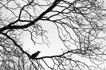 Crows  on tree branches. Black and white