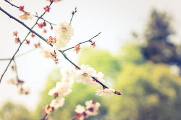 Sakura Soft Focus background