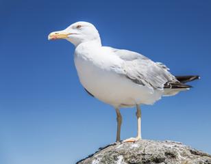 European herring gull.