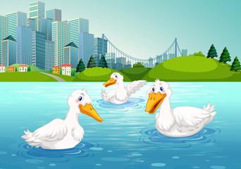 Three ducks swimming in the lake