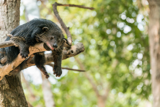 Binturong or Bearcat rest on tree branch