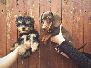 Human hands holding two puppies