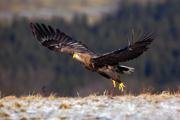 White-tailed Eagle, Haliaeetus albicilla, bird flight, birds of prey with forest in background, starting from the meadow with snow