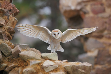 Barn owl, Tyto alba, with nice wings flying on stone wall, light bird landing in the old castle, animal in the urban habitat, United Kingdom Wall mural