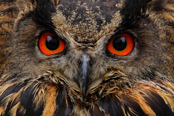 Wall Mural - Detail face portrait of bird, big orange eyes and bill, Eagle Owl, Bubo bubo, rare wild animal in the nature habitat, Germany