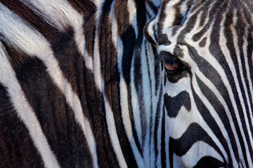 Spoed Foto op Canvas Zebra Monochromatic image of a the face of a Grevy's zebra, big eye in the black and white strips, detail animal portrait, Kenya