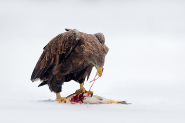 White-tailed Eagle, Haliaeetus albicilla, bird of prey with catch fish in snowy winter scene, animal in snow with ice, viscera in the bill, action animal from nature, Sweden
