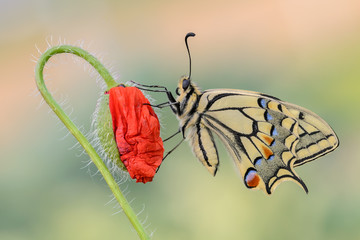 Papilio machaon on Papaver rhoeas