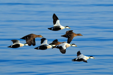 Eider, Somateria mollissima, flock of birds, beautiful sea birds flying above the dark blue sea water, Helgoland, Germany