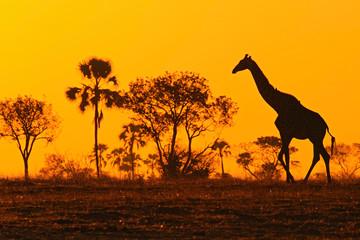 Idyllic giraffe silhouette with evening orange sunset and trees, Botswana, Africa