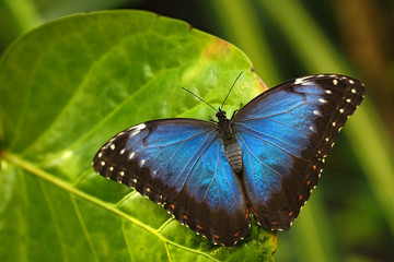 Blue Morpho, Morpho peleides, big Butterfly sitting on green leaves, insect in the nature habitat, Panama