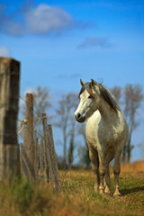 Nice white camargue horse feed on hay with horse in background, dark blue sky with clouds, Camargue, France